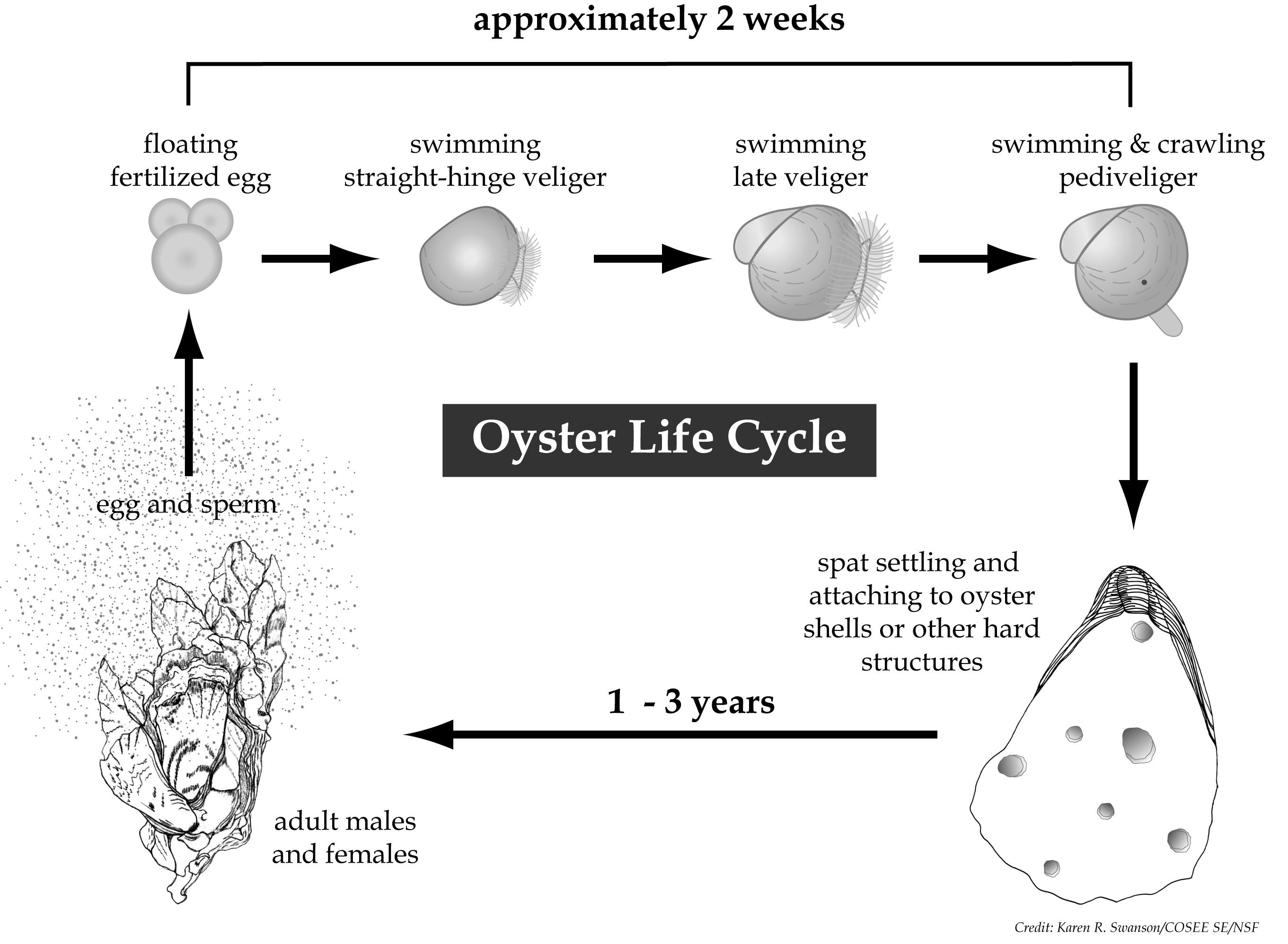 Figure of the oyster life cycle, from egg to veliger larva to pediveliger stage to attached juvenile (spat) to adult, and back to egg.