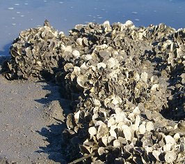 Photo of an oyster reef.